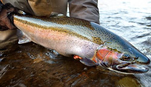 fishery-steelie